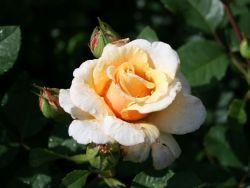 Rosa Caramella