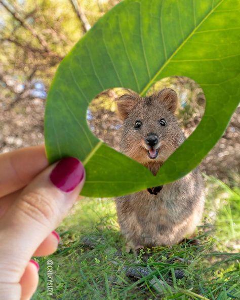 """El quokka es conocido como """"el animal más feliz del mundo"""", y aquí hay 22 fotos que lo demuestran"""