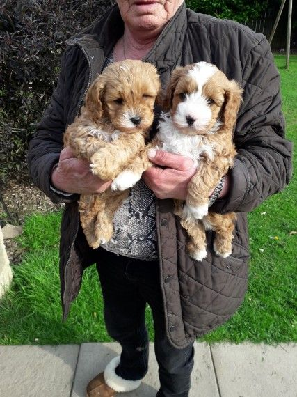 Cavapoo Puppies Cavapoo Puppies Puppies Cute Funny Animals