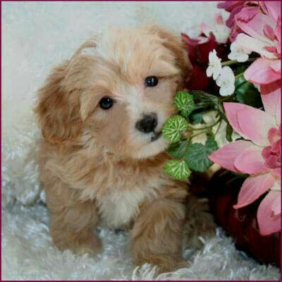 Pin By Enticing On Malti Poo Love Maltipoo Puppy Maltese Poodle Puppies Poodle Puppy