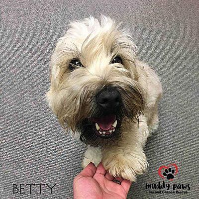 Council Bluffs Ia Wheaten Terrier Meet Betty A Pet For Adoption Pet Adoption Animal Welfare Quote Adoption