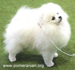 Pin By Tami T Crutcher On Pomeranian Pomeranian Puppy Pomeranian Breed Pomeranian Dog