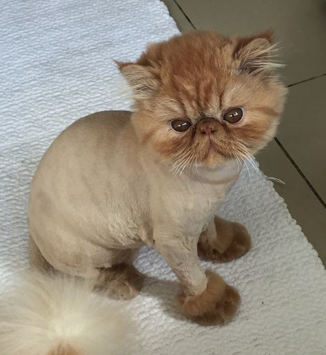 Orange persian cat lion cut images so cute pinterest persian orange persian cat lion cut images so cute pinterest persian cats persian and lions winobraniefo