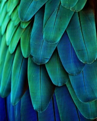 Wall Mural Macaw Feathers (Blue/Green)