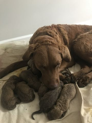 Litter Of 9 Chesapeake Bay Retriever Puppies For Sale In Columbia