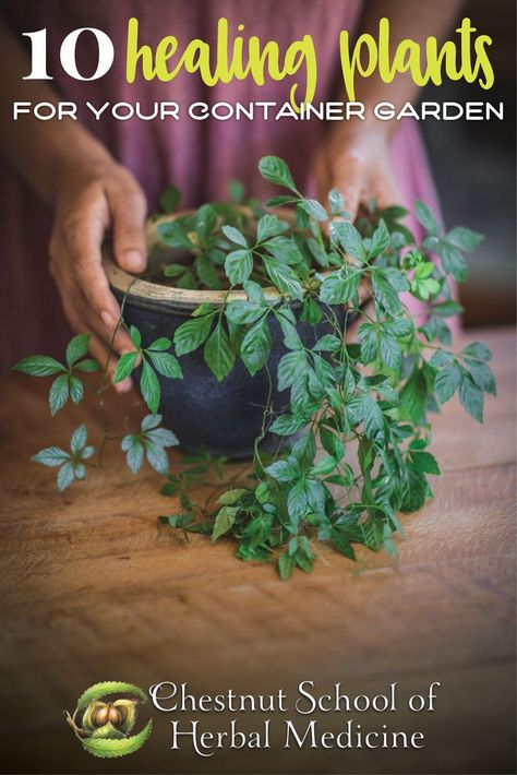 Growing Medicinal Herbs in Pots:10 Healing Plants for Your Container Garden // Chestnut School of Herbal Medicine #herbgardening #herbalife #herbalism #medicinalherbs #pottedplants #containergardening #growherbs