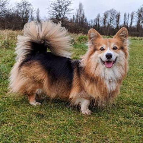 Long Haired Corgi With Tail