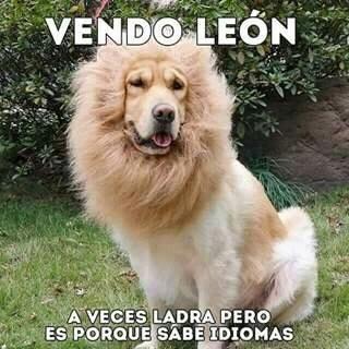 Vendo Leon Jeje Asi Era El Padre De Tango Un San Bernardo Expertoanimal Mundoanimal Reinoanimal Animales Naturaleza Masco Golden Retriever Animals Dogs