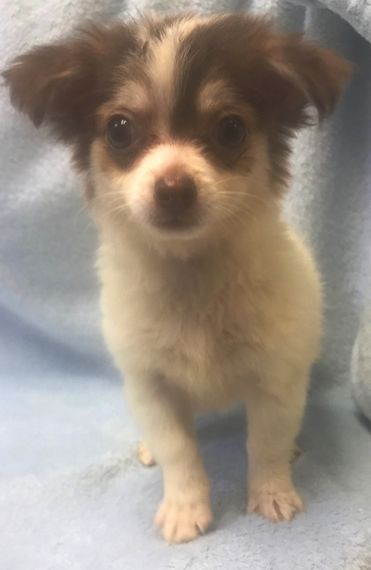 Zeus Is A Male Chihuahua Puppy For Sale At Puppyspot Call Us