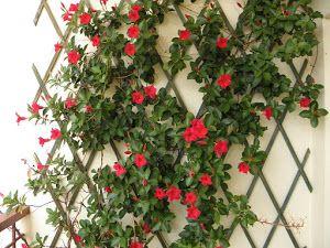Dipladenia Una Planta Trepadora Con Flores Lindas Y Exóticas Plantas Plantas Trepadoras Trepadoras Con Flor Plantas Enredaderas