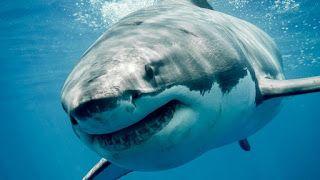 تفسير الاحلام مجانا تفسير حلم رؤية سمك القرش في الماء رؤية اسماك القر Sharks Scary White Sharks Big Shark