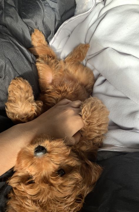 Merlot the Cavoodle from Manchester, United Kingdom - Cavapoo World