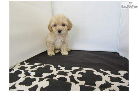 Malti Poo Maltipoo Puppy For Sale Near Orange County California