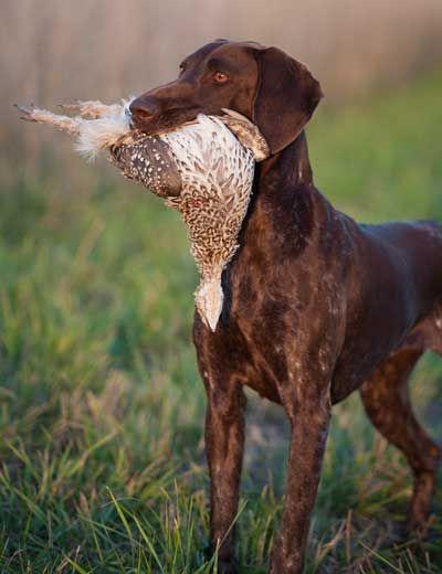 Razas De Perros Braco Alemán De Pelo Corto Perros Grandes
