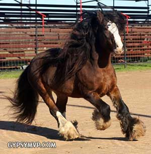 Gypsy Vanner Stallions for Sale by Gypsy MVP
