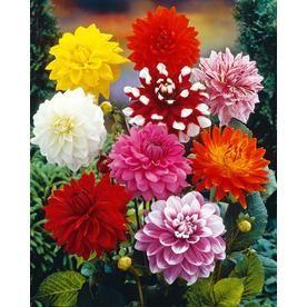 7 Count Dahlia Bulbs Lowes Com Bulb Flowers Perennial Bulbs Flower Landscape