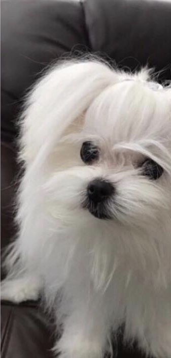 16 Reasons Maltese Dogs Are Not The Friendly Dogs Everyone Says