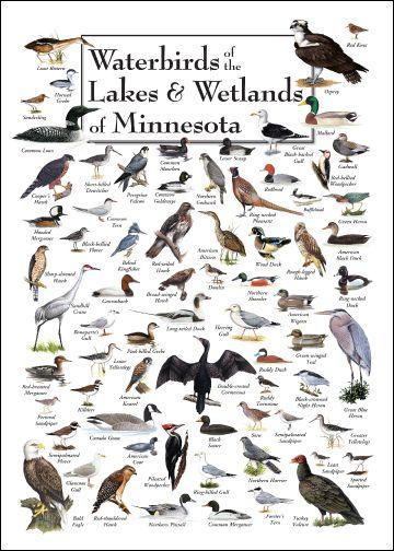Waterbirds Of The Lakes Wetlands Of Minnesota Pet Birds Bird Identification Bird Poster