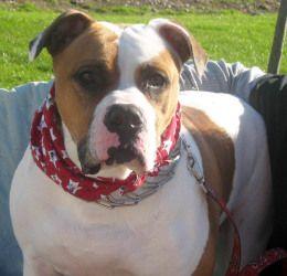 Ginger American Bulldog Dog Syracuse Ny American Bulldog