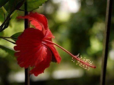 Hibiscus Flower Benefits In Tamil Hibiscus Hibiscus Plant Hibiscus Tree Growing Hibiscus