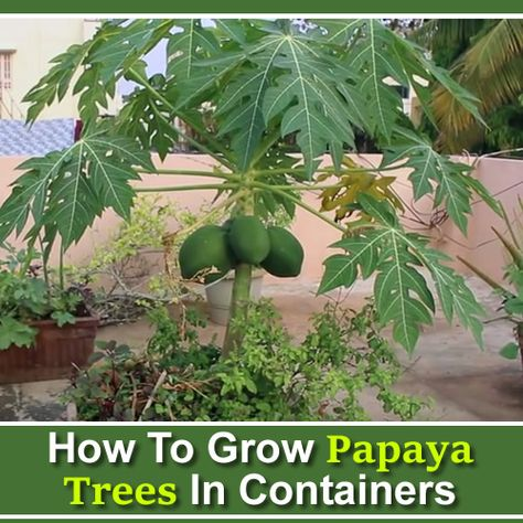 How To Grow Papaya In Containers Papaya Tree Papaya Plant Potted Fruit Trees