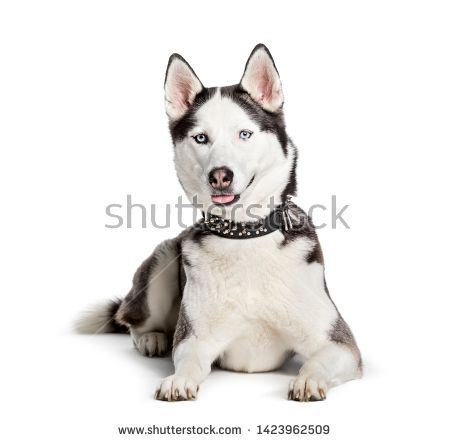 Stock Photo Siberian Husky Looking At Camera Against White