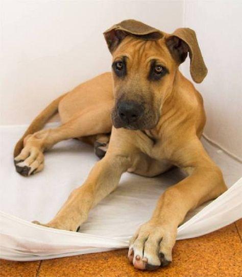 Great Dane Puppy Brown Zoe Fans Blog Great Dane Dogs Dane Puppies
