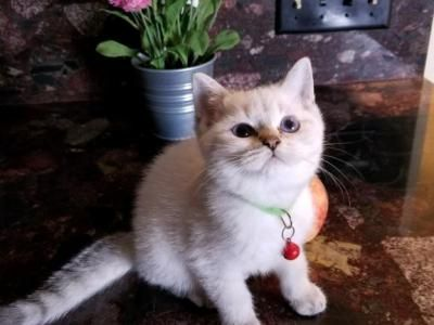 Page Female British Shorthair Kitten For Sale In Texas United States Profile Id 30916 British Shorthair Kittens Cat Breeder Kitten For Sale