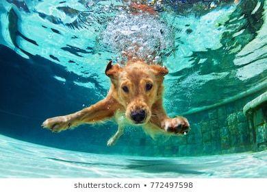 Underwater Funny Photo Of Golden Labrador Retriever Puppy In