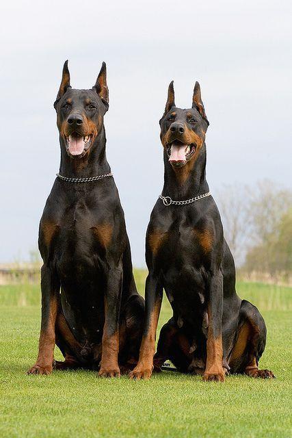 Two Dobermans Doberman Dogs Black Doberman Doberman Pinscher