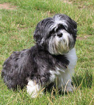 Pin On Teacup Shih Tzu Puppies
