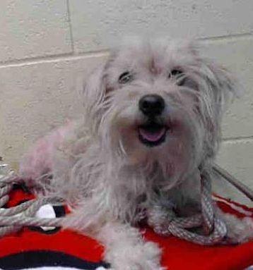 Urgent Downey Ca A5215786 Maltese Poodle Mix Female Needs