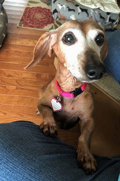 Meet Athena In Ny An Adoptable Pet Dog Dachshund Breed