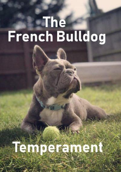 French Bulldog Temperament French Bulldog Bulldog French