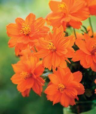 Cosmos Mandarin Orange Burpee Orange Flowering Plants Cosmos Flowers Cosmos