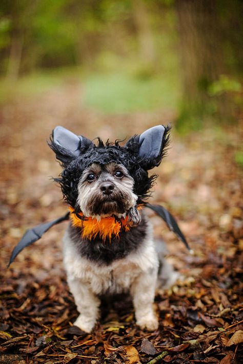 10/12 - Teddy - Bat Dog. #halloweendogs
