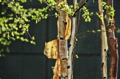 Peeling Bark On Trees What To Do For Trees That Have Peeling Bark Tree Bark Ornamental Trees Red Perennials