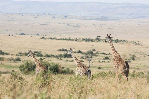 Taken in the Maasai Mara, Kenya