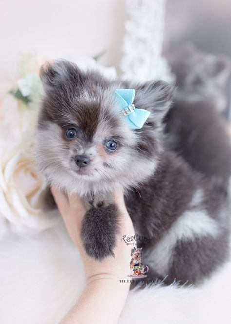 New Arrivals at TeaCup Puppies   Teacup Puppies & Boutique