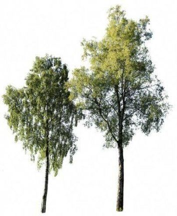 19 Trendy Ideas Birch Tree Png Nature Tree Photoshop Betula Pendula Landscape Trees