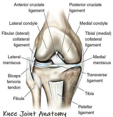 Learn A About Knee Joint Anatomy The Different Structures That Make Up The Knee How They Fit Togethe Anatomy Of The Knee Joints Anatomy Knee Joint Anatomy