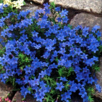 Lithodora Heavenly Blue Is A Low Mat Forming Evergreen Plant With Small Hairy Leaves Introduced Into The U K As Ground Cover Plants Plants Evergreen Plants