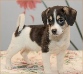 Frederick Adoptable Policies Female Selena Beagle In 2020