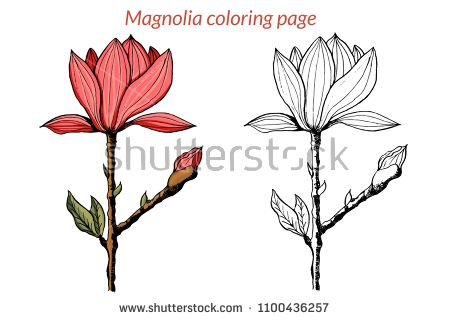 Vector Magnolia Flower Botanical Coloring Page For Children And