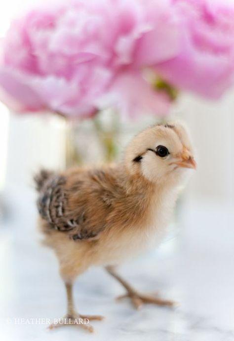 (via Baby chick. | Fowl Play | Pinterest)