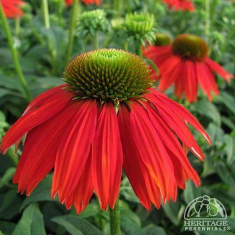Echinacea, Salsa Red. Sombrero  Series. New series of Coneflower bred to produce sturdy, well-branched compact plants that offer a high bud count. This selection produces very large, single flowers with bright red, overlapping petals surrounding a large brown cone. 21-23 x 16-21