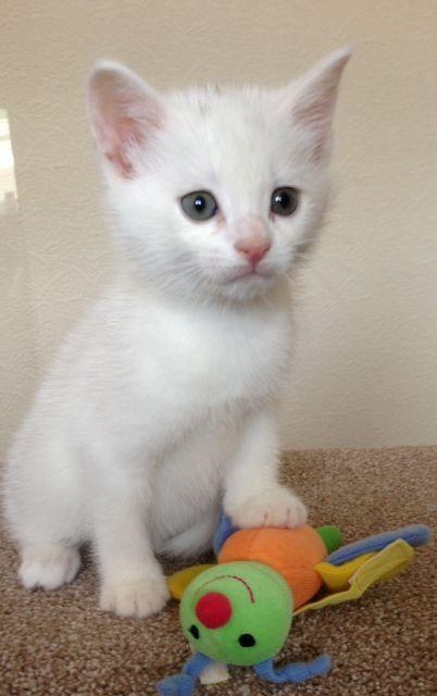 White Siamese Kitten Cute Cats And Kittens Siamese Kittens Kittens