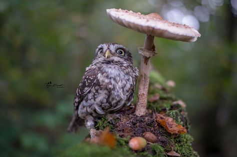This adorable little owl, named Poldi, has become internet famous. Take a look at this cute little owl, who can fit on the palm of your hand. Little Owl, Little Pets, Beautiful Owl, Animals Beautiful, Baby Animals, Cute Animals, Tier Fotos, Cute Photos, Beautiful Creatures