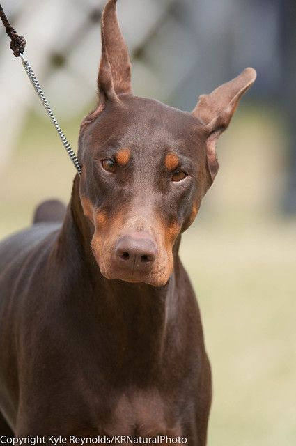 Hickories Circuit Dog Show August 16 2014 4790 Dog Show