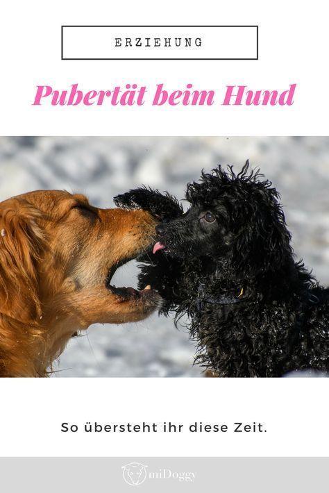 Hund In Der Pubertat Der Uberlebensguide Hunde Welpen Hunde Erziehen